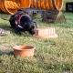 nasenarbeit mit Labrador